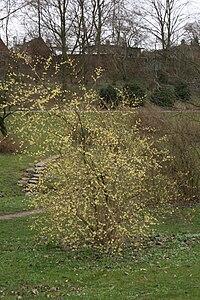 Forsythia-giraldiana-habitus