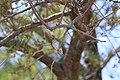 Foudia madagascariensis (21486626924).jpg