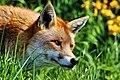 Fox - British Wildlife Centre (17125924230).jpg