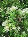 Fraxinus ornus (wallygrom) 001.jpg