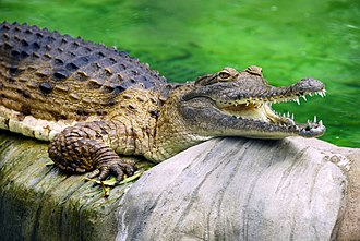 Freshwater crocodile - Image: Freshwater Crocodile at Lone Pine Koala Sanctuary