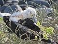 Frigatebirds - North Seymour Island - Galapagos Islands - Ecuador (4871091142).jpg