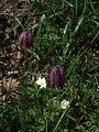 Fritillaria meleagris - Flickr - peganum (7).jpg