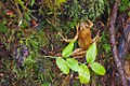 Frog - Olympic National Forest - October 2017.jpg