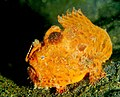 Frogfish1.jpg