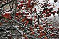 Frozen Berries (4198933185).jpg
