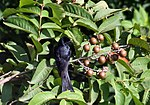 Fruit, leaves & Drongo I IMG 5962.jpg