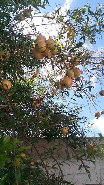 File:Fruto de la Granada (Yucatán) - 1.jpg