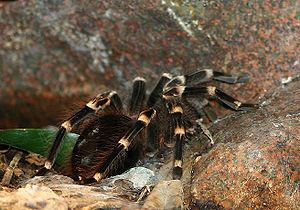 Tarantula 8 Eyes