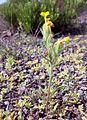Fujeirah north 1501200713057 Arnebia hispidissima.jpg