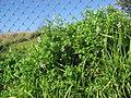 Fumaria capreolata plant1 (14605322083).jpg