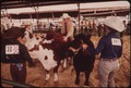 GARFIELD COUNTY FAIR. JUDGING LIVESTOCK RAISED BY YOUNGSTERS IN THE 4-H PROGRAM - NARA - 552665.tif