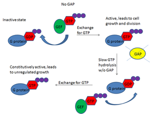 GTPase-activating protein - Without GAP, G proteins are constitutively on because of their slow hydrolytic activity and GEFs constantly replacing GDP with GTP. This results in unregulated cell division and the formation of tumors.