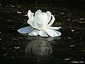 Gaint Lily Flower I IMG 5778.jpg