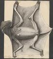 Galeopithecus volans - 1734-1765 - Print - Iconographia Zoologica - Special Collections University of Amsterdam - UBA01 IZ19700093.tif