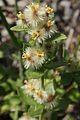 Galium grayanum.jpg