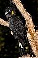 Gang Gang Cockatoo Cairns Zoo-1 (6287184436).jpg