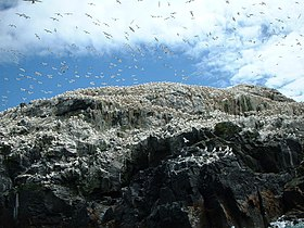 Gannets on Grassholm - geograph.org.uk - 174369.jpg