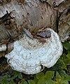 Ganoderma megaloma (Lév.) Bres 543182 crop.jpg