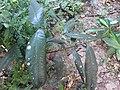 Garcinia malabarica-2-papanasam-tirunelveli-India.jpg