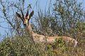Gazella gazella gazella 2.jpg