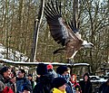 Geierschau im Wildpark Bad Mergentheim. 02.jpg