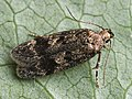 Gelechia scotinella - Thicket groundling - Выемчатокрылая моль плодовая (40010435805).jpg