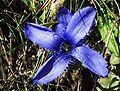 Gentianopsis ciliata a4.jpg