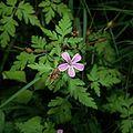 Geranium robertianum1000.jpg