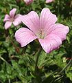 GeraniumendressiiWP.jpg