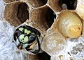 German Wasp adult emerges from brood cell.jpg