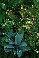 Geum Herterton Primrose ^ Hosta Halcyon - Flickr - peganum (1).jpg