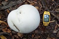 Giant Puffball.jpg