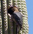 Gila Woodpecker . Melanerpes uropygialis - Flickr - gailhampshire.jpg