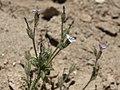 Gilia modocensis 1816562.jpg
