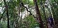 Ginat Liana hanging on giant trees in Sinharaja Rain forest of Sri Lanka.jpg