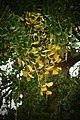 Ginkgo biloba with yellow leaves.jpg