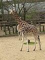 Giraffe (4508483001).jpg