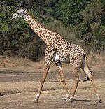 Giraffe Walking Square, flip.jpg