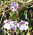 Glechoma hederacea ENBLA09.jpg