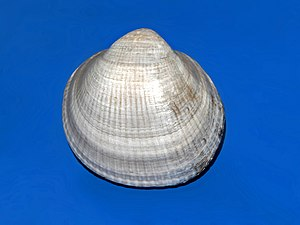 Glycymeris nummaria - One valve of a shell of Glycymeris nummaria from Sicily, on display at the Museo Civico di Storia Naturale di Milano