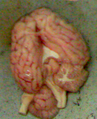 GoatBrain cropped.png