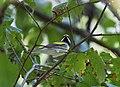 Golden-winged Warbler (36641598193).jpg