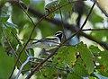 Golden-winged Warbler (37264134196).jpg
