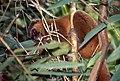 Golden Bamboo Lemur (Hapalemur aureus) eating bamboo ... (44530287785).jpg