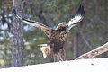 Golden Eagle (Aquila chrysaetos) (13667892725).jpg