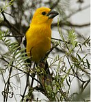 Golden Grosbeak.jpg