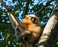 Golden Langur, Assam, close to Manas National Park 1.jpg