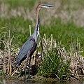 Goliath Heron, Ardea goliath at Marievale Nature Reserve, Gauten (43682843640).jpg