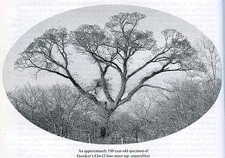 <i>Ulmus minor</i> Goodyeri Elm cultivar